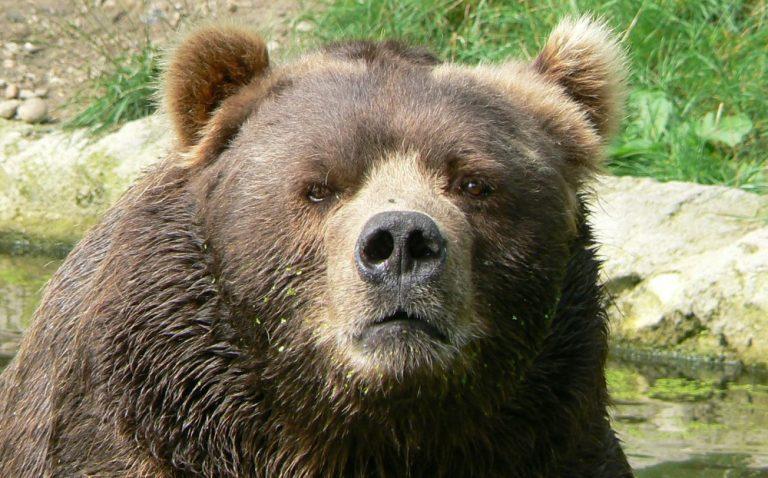 Atenție, ursul!