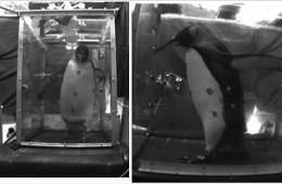 Pinguin pe banda de alergare